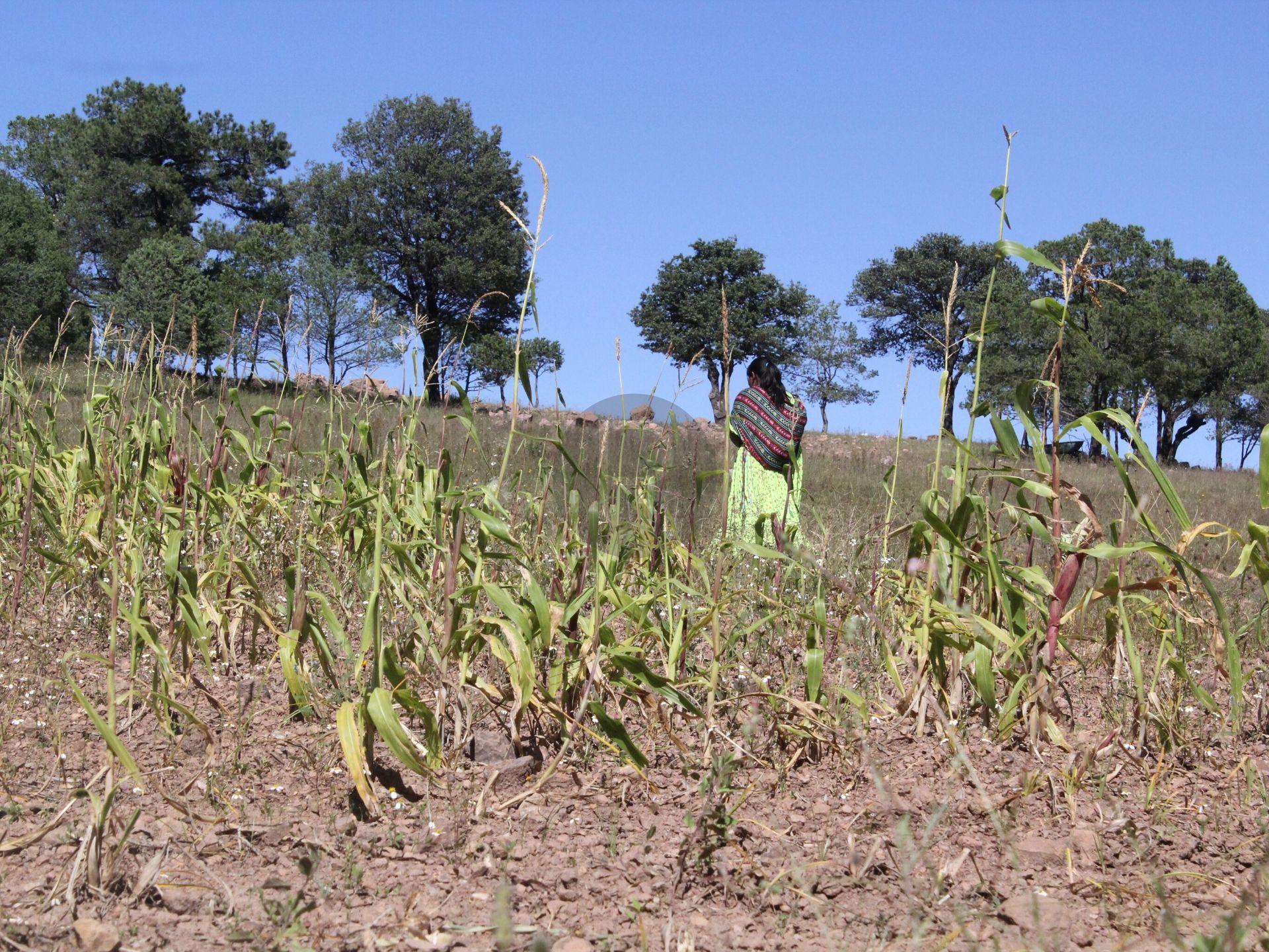 Sequía provocó exiguas cosechas en la Tarahumara; vaticinan hambruna y migración en pueblos rarámuri