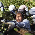 La tragedia de los indígenas migrantes en EU, por el Covid 19