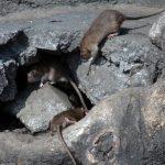 Vienen las ratas