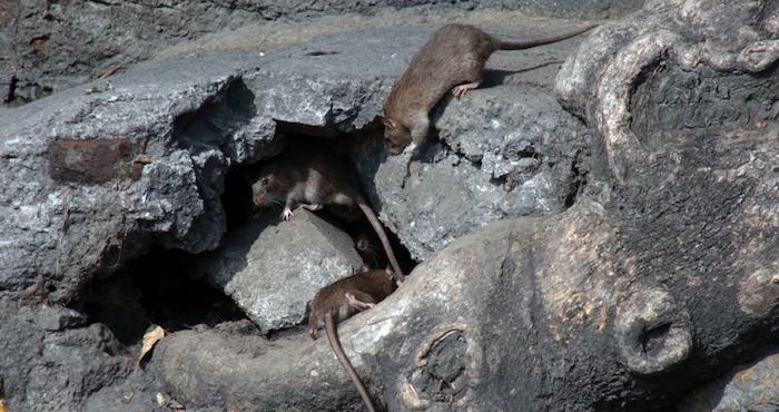 <strong>Vienen las ratas</strong>