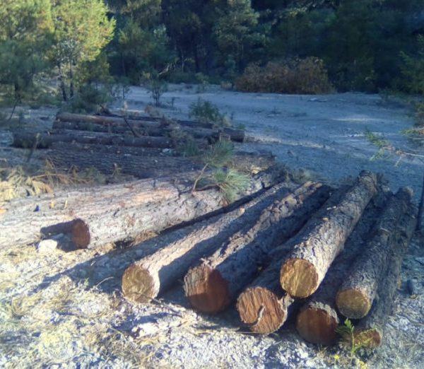 En tiempos de pandemia, cunde la tala irregular en la sierra Tarahumara